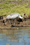 brolga-picture;brolga;grus-rubicunda;brogla-foraging;brolga-in-wetland;brolga-fishing;brolga-foraging;brolga-feeding;corroboree-billabong;mary-river;northern-territory;endemic-bird;endemic-birds;birds-endemic-to-australia;wetland;billabong;river-bank;australia;steven-david-miller;natural-wanders
