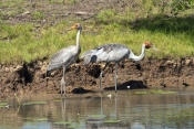 brolga-picture;brolga-family;brolga-adult-and-juvenile;brolga-with-young;brolga;grus-rubicunda;brolga-in-wetland;brolga-fishing;brolga-foraging;brolga-feeding;bird-family;family;corroboree-billabong;mary-river;northern-territory;endemic-bird;endemic-birds;birds-endemic-to-australia;wetland;billabong;river-bank;australia;steven-david-miller;natural-wanders