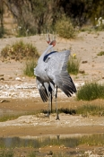 brolga-picture;brolga;brolgas;brolga-pair;grus-rubicunda;brolga-mating-display;brolgas-displaying;brolgas-dancing;birds-displaying;courtship-behavior;courtship-behaviour;mungeranie;mungerannie;birdsville-track;australian-cranes;australian-birds;crane;red-head;south-australia;australia;steven-david-miller;natural-wanders