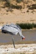 brolga-picture;brolga;grus-rubicunda;brolga-walking;brolga-standing;big-bird;tall-bird;mungeranie;mungerannie;birdsville-track;australian-cranes;australian-birds;crane;red-head;south-australia;australia;steven-david-miller;natural-wanders