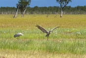 brolga-picture;brolga;grus-rubicunda;brogla-foraging;brolga-in-wetland;brolga-dancing;adult-brolga;corroboree-billabong;mary-river;northern-territory;endemic-bird;endemic-birds;birds-endemic-to-australia;wetland;billabong;river-bank;australia;steven-david-miller