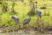 brolga-picture;brolga-family;brolga-adults-and-juvenile;brolga-with-young;brolga;grus-rubicunda;brolga-in-wetland;brolga-fishing;brolga-foraging;brolga-feeding;bird-family;family;corroboree-billabong;mary-river;northern-territory;endemic-bird;endemic-birds;birds-endemic-to-australia;wetland;billabong;river-bank;australia;steven-david-miller;natural-wanders