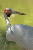 brolga-picture;brolga;tall-bird;australian-birds;grus-rubicunda;australian-cranes;big-bird;crane;brolga-portrait;brolga-standing;brolga-head;brolga-dewlap;red-head;wildlife-habitat;rainforest-habitat;port-douglas;north-queensland;queensland;australia;steven-david-miller;natural-wanders