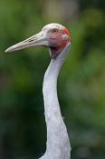 brolga-picture;brolga;tall-bird;australian-birds;grus-rubicunda;australian-cranes;big-bird;crane;bro