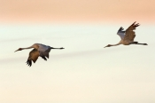 brolga;brolgas;brolgas-flying;brolgas-in-flight;grus-rubicunda;australian-crane;crane;kakadu-nationa