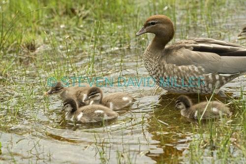 australian wood duck picture;australian wood duck;maned duck;chenonetta jubata;wood duck ducklings;wood duck duckling;wood duck duckling;ducklings;duck;ducks;baby duck;baby ducks;australian ducks;australian duck;hervey bay;queensland;steven david miller;natural wanders;female wood duck with ducklings;female duck with ducklings;duck family;wood duck family