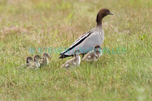 australian wood duck picture;australian wood duck;maned duck;chenonetta jubata;wood duck ducklings;wood duck duckling;wood duck duckling;ducklings;duck;ducks;baby duck;baby ducks;australian ducks;australian duck;hervey bay;queensland;steven david miller;natural wanders;male wood duck with ducklings;male duck with ducklings;duck family;wood duck family