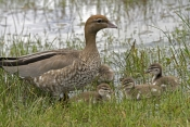 australian-wood-duck-picture;australian-wood-duck;maned-duck;chenonetta-jubata;wood-duck-ducklings;wood-duck-duckling;wood-duck-duckling;ducklings;duck;ducks;baby-duck;baby-ducks;australian-ducks;australian-duck;hervey-bay;queensland;steven-david-miller;natural-wanders;female-wood-duck-with-ducklings;female-duck-with-ducklings;duck-family;wood-duck-family