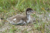 australian-wood-duck-picture;australian-wood-duck;maned-duck;chenonetta-jubata;wood-duck-ducklings;wood-duck-duckling;wood-duck-duckling;ducklings;duck;ducks;baby-duck;baby-ducks;australian-ducks;australian-duck;hervey-bay;queensland;steven-david-miller;natural-wanders