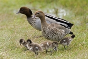 australian-wood-duck-picture;australian-wood-duck;maned-duck;chenonetta-jubata;wood-duck-ducklings;wood-duck-duckling;wood-duck-duckling;ducklings;duck;ducks;baby-duck;baby-ducks;australian-ducks;australian-duck;hervey-bay;queensland;steven-david-miller;natural-wanders;wood-duck-with-ducklings;duck-with-ducklings;duck-family;wood-duck-family