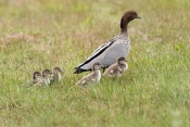 australian-wood-duck-picture;australian-wood-duck;maned-duck;chenonetta-jubata;wood-duck-ducklings;wood-duck-duckling;wood-duck-duckling;ducklings;duck;ducks;baby-duck;baby-ducks;australian-ducks;australian-duck;hervey-bay;queensland;steven-david-miller;natural-wanders;male-wood-duck-with-ducklings;male-duck-with-ducklings;duck-family;wood-duck-family