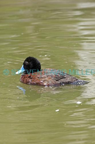 blue-billed duck picture;blue-billed duck;blue billed duck;male blue-billed duck;blue-billed male;blue billed male;australian duck;australian ducks;oxyrua australis;perth lake;perth zoo;western australia;steven david miller;natural wanders