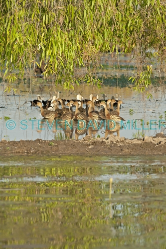plumed whistling duck picture;plumed whistling-duck;plumed whistling ducks;plumed whistling duck camp;camp of plumed whistling ducks;dendrocygna eytoni;camp of ducks;australian ducks;ducks of australia;northern territory wetland;corroboree billabong;wetland birds;mary river;northern territory;australia;steven david miller;natural wanders