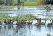 plumed-whistling-duck-picture;plumed-whistling-duck;plumed-whistling-ducks;plumed-whistling-duck-camp;camp-of-plumed-whistling-ducks;dendrocygna-eytoni;camp-of-ducks;australian-ducks;ducks-of-australia;northern-territory-wetland;corroboree-billabong;wetland-birds;mary-river;northern-territory;australia;steven-david-miller;natural-wanders