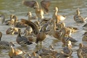 plumed-whistling-duck-picture;plumed-whistling-duck;plumed-whistling-duck;plumed-whistling-ducks;plumed-whistling-ducks;ducks-swimming;ducks-in-lake;group-of-ducks;flock-of-ducks;camp-of-ducks;wetland;lake;bundaberg-botanical-gardens;bundaberg;queensland;steven-david-miller;natural-wanders