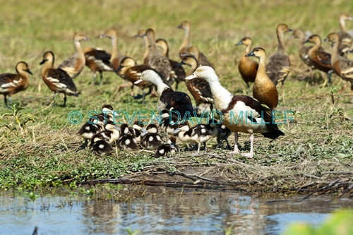 radjah shelduck picture;radjah shellduck;burdekin duck picture;burdekin duck;tadorna radjah;radjah shelduck ducklings;burdekin ducklings;ducklings;duck family;family of ducklings;corroboree billabong;mary river wetland;mary river;australian ducks;northern territory;australia;steven david miller;natural wanders