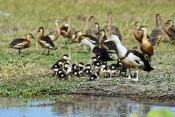 radjah-shelduck-picture;radjah-shellduck;burdekin-duck-picture;burdekin-duck;tadorna-radjah;radjah-shelduck-ducklings;burdekin-ducklings;ducklings;duck-family;family-of-ducklings;corroboree-billabong;mary-river-wetland;mary-river;australian-ducks;northern-territory;australia;steven-david-miller;natural-wanders