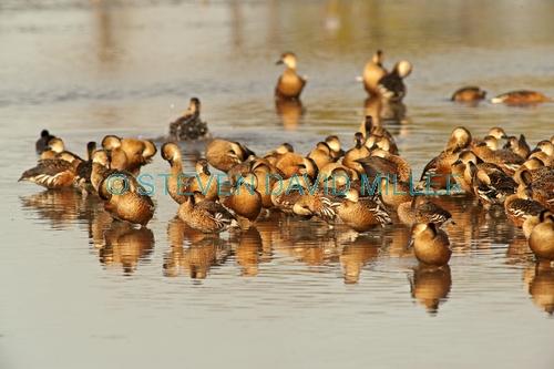 wandering whistling-ducks picture;wandering whistling-ducks;wandering whistling ducks;whistling ducks;dendrocygna arcuata;camp of whistling ducks;whistling ducks camp;parry lagoons nature reserve;marlgu billabong;ramsar wetland;ramsar wetland of international importance;wyndham;the kimberley;kimberley;western australia;australian nature reserves;australian ducks;australian endemic ducks;steven david miller;natural wanders