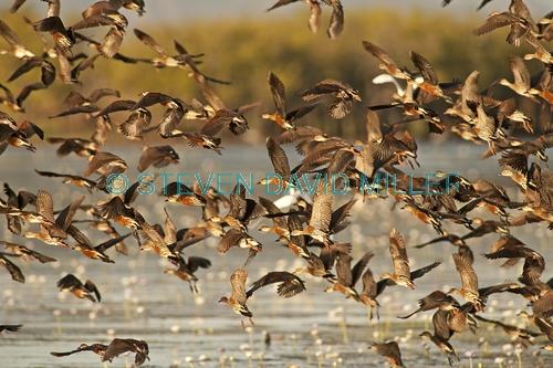 wandering whistling-ducks picture;wandering whistling-ducks;wandering whistling ducks;whistling ducks;dendrocygna arcuata;camp of whistling ducks;whistling ducks camp;parry lagoons nature reserve;marlgu billabong;ramsar wetland;ramsar wetland of international importance;wyndham;the kimberley;kimberley;western australia;australian nature reserves;australian ducks;australian endemic ducks;ducks in flight;birds in flight;flock of birds flying;flying ducks;steven david miller;natural wanders
