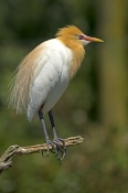 cattle-egret-picture;cattle-egret;adrea-ibis;breeding-cattle-egret;cattle-egret-standing;cattle-egret-on-tree-branch;cattle-egret-breeding-plumage;cattle-egret-breeding-colors;cattle-egret-breeding-colours;caversham-wildlife-park;perth;steven-david-miller;natural-wanders