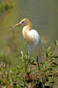 cattle-egret-picture;cattle-egret;adrea-ibis;breeding-cattle-egret;cattle-egret-with-nesting-material;cattle-egret-building-nest;cattle-egret-breeding-plumage;cattle-egret-breeding-colors;cattle-egret-breeding-colours;caversham-wildlife-park;perth;steven-david-miller;natural-wanders