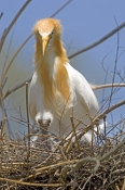 cattle-egret-picture;cattle-egret;adrea-ibis;breeding-cattle-egret;cattle-egret-on-nest;cattle-egret-with-chicks;cattle-egret-breeding-plumage;cattle-egret-breeding-colors;cattle-egret-breeding-colours;caversham-wildlife-park;perth;steven-david-miller;natural-wanders