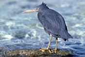 eastern-reef-egret-picture;eastern-reef-egret;egretta-sacra;ardea-sacra;eastern-reef-egret-foraging-on-reef;eastern-reef-egret-grey-morph;heron-island;great-barrier-reef;coral-cay;coral-island;capricorn-bunker-group;queensland;australia;steven-david-miller;natural-wanders
