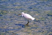 eastern-reef-egret-picture;eastern-reef-egret;egretta-sacra;ardea-sacra;eastern-reef-egret-foraging-on-reef;eastern-reef-egret-white-morph;heron-island;great-barrier-reef;coral-cay;coral-island;capricorn-bunker-group;queensland;australia;steven-david-miller;natural-wanders