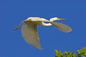 great-egret-picture;great-egret;ardea-alba;white-egret;australian-egret;great-egret-in-flight;great-egret-flying;australian-birds;australian-egrets;australian-egret;daintree-river;north-queensland;daintree;the-daintree;steven-david-miller;natural-wanders