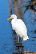 great-egret-picture;great-egret;ardea-alba;white-egret;australian-egret;great-egret-wading;great-egret-stalking;great-egret-in-water;parry-lagoons-nature-reserve;marlgu-billabong;ramsar-wetland;ramsar-wetland-of-international-importance;wyndham;the-kimberley;kimberley;western-australia;australian-nature-reserves;steven-david-miller;natural-wanders