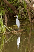 great-egret-picture;great-egret;ardea-alba;white-egret;australian-egret;great-egret-wading;great-egret-stalking;great-egret-near-water;steven-david-miller;south-alligator-river;yellow-waters;yellow-waters-cruise;kakadu-national-park;northern-territory;australian-birds;australian-national-parks;steven-david-miller;natural-wanders