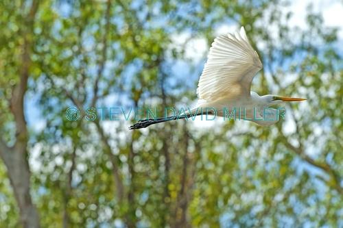 intermediate egret picture;intermediate egret;intermediate egret in flight;egret in flight;egret flying;australian egrets;bird in flight;bird flying;white bird;white egret;wetland scenery;corroboree billabong;mary river;northern territory;bird inflight;steven david miller;natural wanders