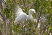 intermediate-egret-picture;intermediate-egret;ardea-intermedia;egret-breeding-plumage;egret-mating-plumage;egret-displaying;egret-mating-display;bundaberg-botanical-gardens;bundaberg;queensland;egret-nesting-colony;steven-david-miller;natural-wanders