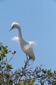intermediate-egret-picture;intermediate-egret;ardea-intermedia;egret-breeding-plumage;egret-mating-plumage;egret-displaying;egret-mating-display;bundaberg-botanical-gardens;bundaberg;queensland;egret-nesting-colony;steven-david-miller;natural-wanders