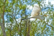 intermediate-egret-picture;intermediate-egret;intermediate-egret-in-flight;egret-in-flight;egret-flying;australian-egrets;bird-in-flight;bird-flying;white-bird;white-egret;wetland-scenery;corroboree-billabong;mary-river;northern-territory;bird-inflight;steven-david-miller;natural-wanders