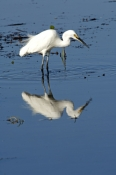 little-egret-picture;little-egret;egretta-garzetta;ardea-garzetta;egret-foraging-in-water;egret-in-water;egret-foraging;reflection;australian-egrets;australian-egret;egret;egret-wading-in-water;kakadu-birds;kakadu-national-park;northern-territory;steven-david-miller;natural-wanders
