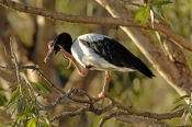 magpie-goose-picture;magpie-goose;magpie-geese;male-magpie-goose;goose;australian-goose;australian-g