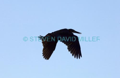 great-billed heron picture;great-billed heron;great billed heron;Ardea sumatrana;heron in flight;heron flying;bird silhouette in flight;daintree river;north queensland;steven david miller;natural wanders