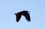 great-billed-heron-picture;great-billed-heron;great-billed-heron;Ardea-sumatrana;heron-in-flight;her