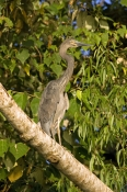 great-billed-heron-picture;great-billed-heron;great-billed-heron;Ardea-sumatrana;heron-standing-in-tree;heron-on-tree-branch;bird-on-the-daintree-river;birds-of-the-daintree-river;birdwatching-on-the-daintree-river;daintree-river;north-queensland;steven-david-miller;natural-wanders