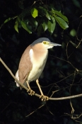 nankeen-night-heron-picture;nankeen-night-heron;nycticorax-caledonicus;rufous-night-heron;adult-nankeen-night-heron;australian-heron;australian-herons;daintree-river;birds-of-the-daintree-river;birdwatching-on-the-daintree-river;north-queensland;queensland;steven-david-miller;natural-wanders