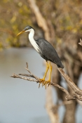 pied-heron-picture;pied-heron;pied-egret;ardea-picata;pied-heron-fishing;pied-heron-standing;adult-pied-heron;parry-lagoons-nature-reserve;marlgu-billabong;ramsar-wetland;ramsar-wetland-of-international-importance;wyndham;the-kimberley;kimberley;western-australia;australian-nature-reserves;steven-david-miller