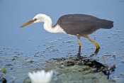 pied-heron-picture;pied-heron;pied-egret;ardea-picata;pied-heron-fishing;pied-heron-standing-in-water;juvenile-pied-heron;parry-lagoons-nature-reserve;marlgu-billabong;ramsar-wetland;ramsar-wetland-of-international-importance;wyndham;the-kimberley;kimberley;western-australia;australian-nature-reserves;steven-david-miller