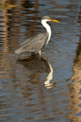 pied-heron-picture;pied-heron;pied-egret;ardea-picata;pied-heron-fishing;pied-heron-standing-in-water;adult-pied-heron;parry-lagoons-nature-reserve;marlgu-billabong;ramsar-wetland;ramsar-wetland-of-international-importance;wyndham;the-kimberley;kimberley;western-australia;australian-nature-reserves;steven-david-miller