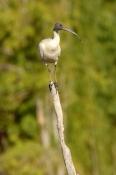 australian-white-ibis-picture;australian-white-ibis;white-ibis;ibis;australian-ibis;threskiornis-molucca;white-ibis-standing;lilyponds;mapleton;queensland;steven-david-miller;natural-wanders