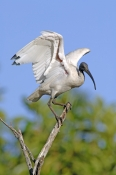 australian-white-ibis-picture;australian-white-ibis;white-ibis;ibis;australian-ibis;threskiornis-molucca;white-ibis-standing;white-ibis-wings-open;ibis-wings;lilyponds;mapleton;queensland;steven-david-miller;natural-wanders