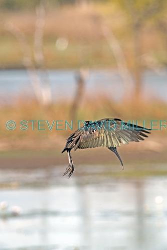glossy ibis picture;glossy ibis;plegadis falcinellus;australian ibis;ibis;dark ibis;brown ibis;ibis flying;ibis in flight;parry lagoons nature reserve;marlgu billabong;ramsar wetland;ramsar wetland of international importance;wyndham;the kimberley;kimberley;western australia;australian nature reserves;steven david miller