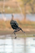glossy-ibis-picture;glossy-ibis;plegadis-falcinellus;australian-ibis;ibis;dark-ibis;brown-ibis;ibis-flying;ibis-in-flight;parry-lagoons-nature-reserve;marlgu-billabong;ramsar-wetland;ramsar-wetland-of-international-importance;wyndham;the-kimberley;kimberley;western-australia;australian-nature-reserves;steven-david-miller