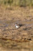 black-fronted-dotterel-picture;black-fronted-dotterel;black-fronted-dottereldotterel;elseyornis-melanops;charadrius-melanops;mungeranie-wetland;outback-wetland;bore-wetland;mungeranie;mungerannie;birdsville-track;steven-david-miller;natural-wanders