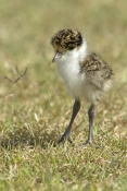 masked-lapwing-picture;masked-lapwing;vanellus-miles;lapwing;masked-lapwing-chick;lapwing-chick;bird-chick;baby-bird;lapwing-hatchling;hervey-bay;queensland;steven-david-miller;natural-wanders